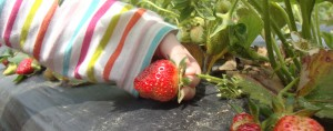 Iris picks a strawberry