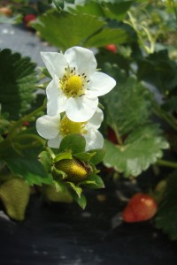 Strawberry Blossom close up
