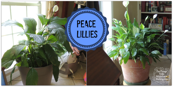 Peace Lillies