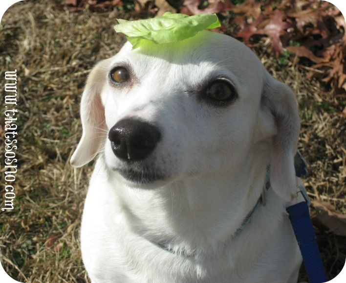 Lettuce Head Lil Sno